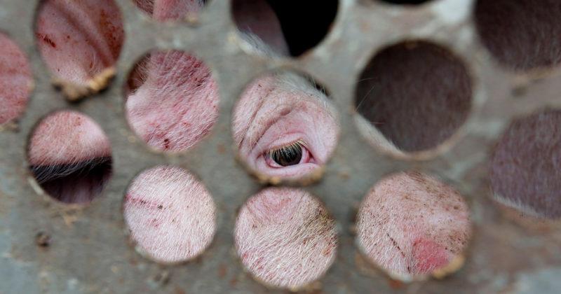 Kuljetusautossa oleva sika katsoo ritiläseinän takaa.