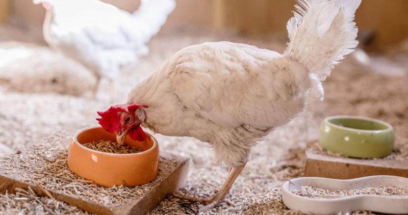 Eläinten turvakoti Saparomäestä turvapaikan löytänyt kana ruokailemassa.