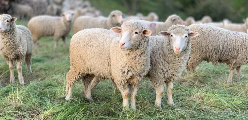 Lammaslauma ulkoilee pellolla.