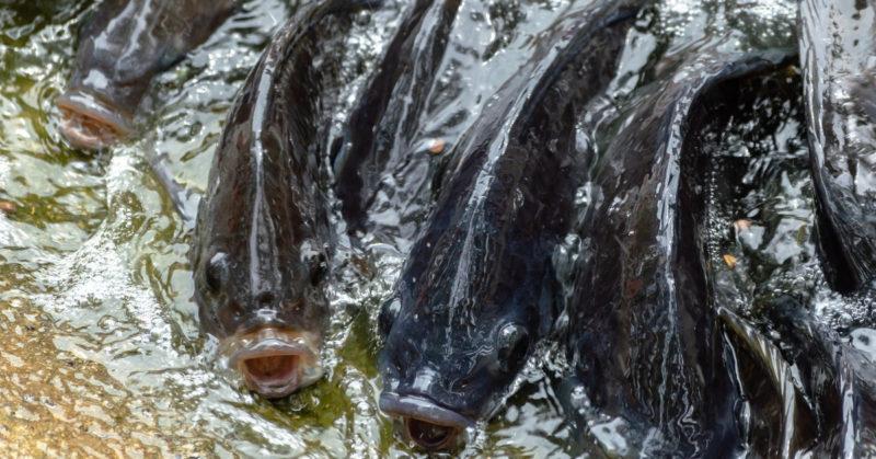 Kaloja vedessä ahtaasti. Yksi kaloista haukkoo henkeä veden pinnalla.