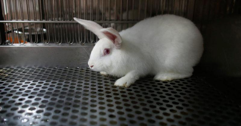 Valkoinen kani seisoo ritilälattian päällä koe-eläinlaitoksen häkissä.