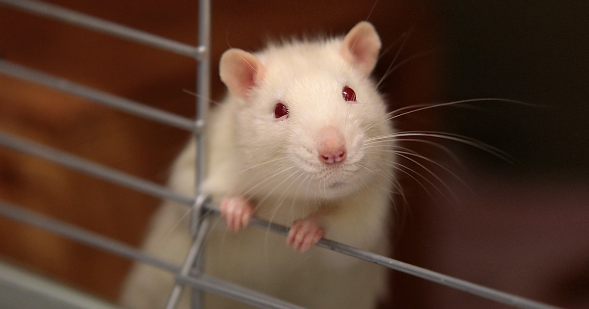 White rat sitting in a cage.