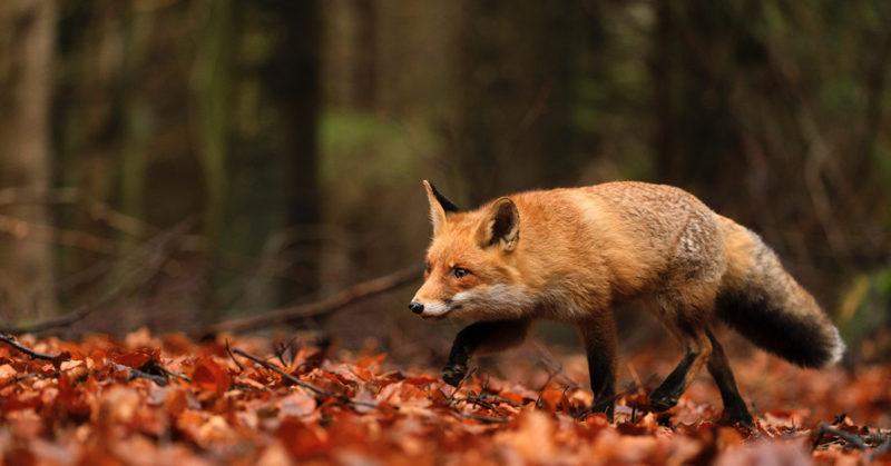 Kettu kävelee syksyisessä metsässä tippuneiden vaahteranlehtien päällä.